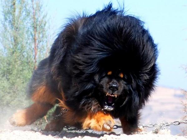 C:\Users\hp\Desktop\angry-tibetan-mastiff-600x450.jpg