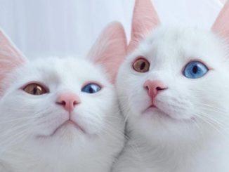 ТОП-12 пород кошек с голубыми глазами