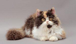 ТОП-10 кудрявых пород кошек