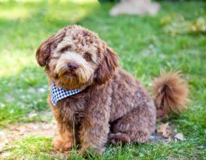 ТОП-20 кудрявых пород собак