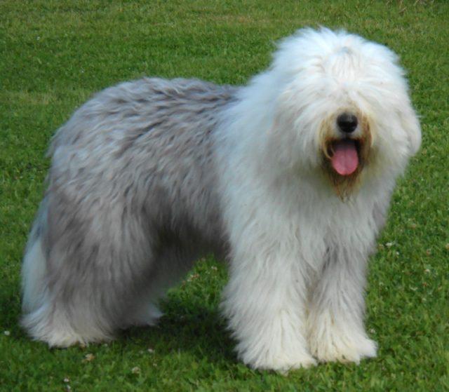 ТОП-20 пород собак с голубыми глазами