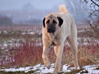 ТОП-15 самых высоких пород собак в мире