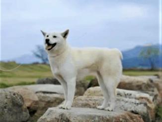 7 корейских пород собак