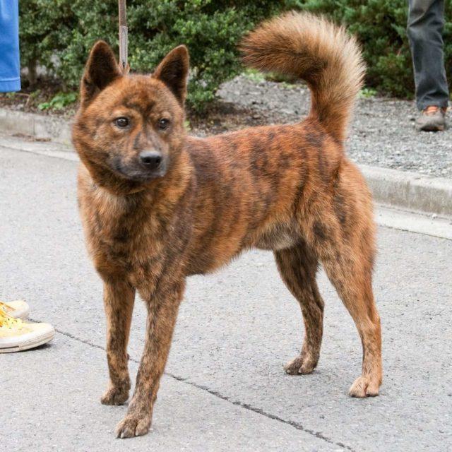 15 японских пород собак
