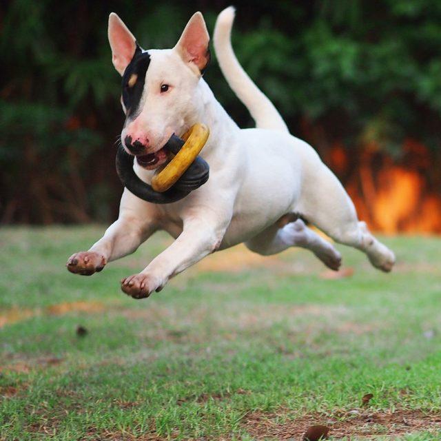 ТОП-20 самых глупых пород собак